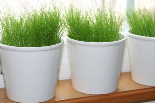 IKEA-pots-of-grass