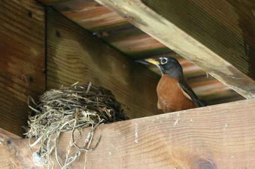 Mother-robin